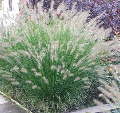 herbe aux couvillons pennisetum alop hameln 60 adlt c1. Black Bedroom Furniture Sets. Home Design Ideas