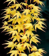 Acer palmatum' Sangokaku'