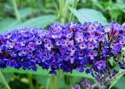 Arbustes aux papillons Buddleja dav. 'Empire Blue'