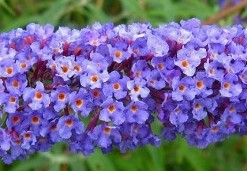 Arbustes aux papillons Buddleja dav. 'Nanho Blue'