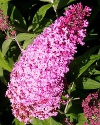 Arbustes aux papillons Buddleja dav. 'Pink Delight'