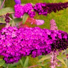 Arbustes aux papillons Buddleja dav. 'Royal Red'