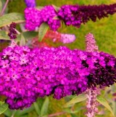 Arbustes aux papillons Buddleja dav. 'Royal Red'