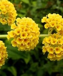 Arbustes aux papillons Buddleja weyeriana 'Sungold'