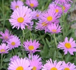 Aster Aster alpinus 'Happy End'