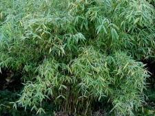 Bambous Fargesia murieliae 'Simba'