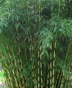 Bambous Fargesia robusta 'Pingwu'