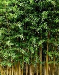 Bambous Phyllostachys aureos. 'Aureocaulis'