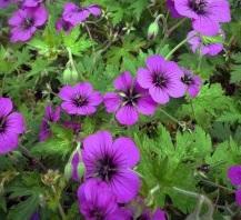 Bec de grue Geranium 'Anne Thomson'