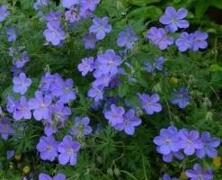 Bec de grue Geranium 'Johnson's Blue'
