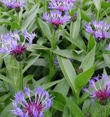 Bleuet Centaurea montana 'Coerulea'