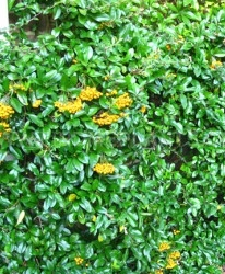 Buisson ardent Pyracantha 'Golden Charmer'
