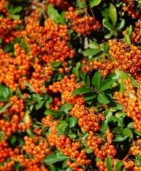Buisson ardent Pyracantha 'Orange Glow'