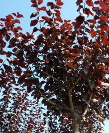 Cérisier à fleurs nigra