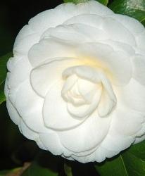 Camélia Camellia