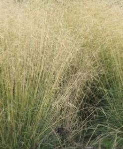 Canche cespiteuse Deschampsia cesp. 'Goldschleier'