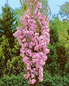 Cerisier prunus amanogawa