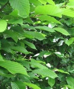 Charme Carpinus betulus (en plateaux)