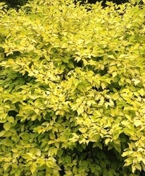Cornouiller Cornus alba 'Aurea'