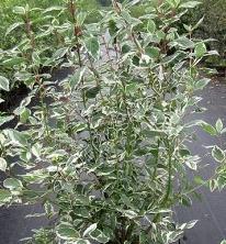 Cornouiller Cornus alba 'Sibirica Variegata'
