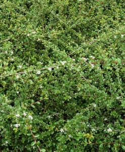Cotonéaster Cotoneaster dammeri