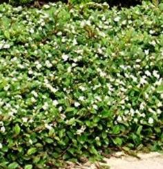 Cotonéaster Cotoneaster dammeri 'Major'
