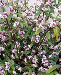 Daphné Daphne odora 'Aureomarginata'