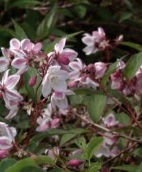 Deutzia Deutzia purpurascens 'Kalmiiflora'