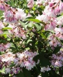 Deutzia Deutzia scabra 'Codsall Pink'