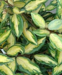 Eleagnus Elaeagnus ebb. 'Limelight'