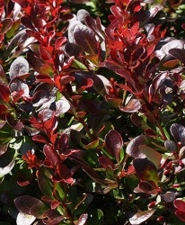 Epine-Vinette Berberis thunb. 'Bagatelle'
