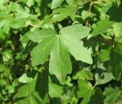 Erable Acer campestre