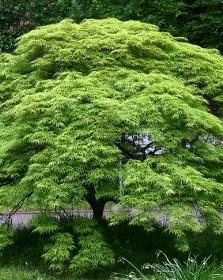 Erable Acer palmatum