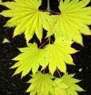Erable Acer shirasawanum 'Aureum'