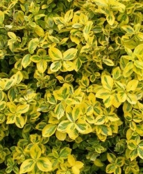 Fusain Euonymus fort. 'Emerald 'n' Gold'