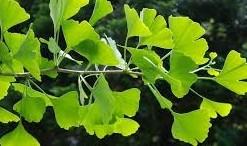 Ginkgo biloba feuilles