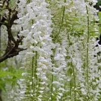 Glycine Wisteria flor. 'Alba'