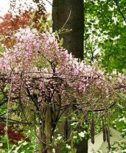 Glycine Wisteria flor. 'Honbeni'