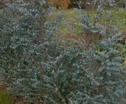 Gommier Eucalyptus gunnii 'Azura'