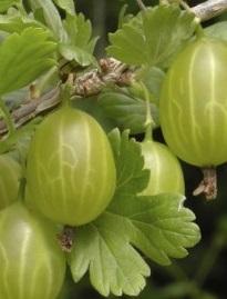 Groseiller à maqueraux Ribes u.-c. 'Hinnonmaki Groen'