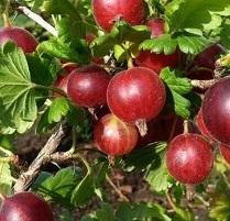 Groseiller à maqueraux Ribes u.-c. 'Hinnonmaki Roed'