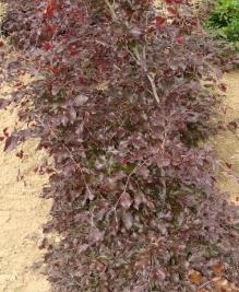 Hêtre sylvatica Purpurea