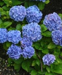 Hortensia Hydrangea macr. Bleu