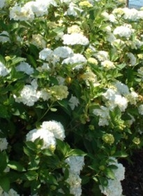 Hortensia Hydrangea macr. blanc