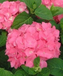 Hortensia Hydrangea macr. rose