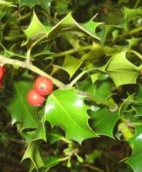 Houx Ilex aquifolium