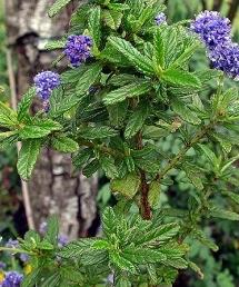 Lilas de Californie Ceanothus 'Blue Diamond'