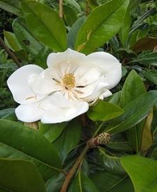 Magnolia Magnolia grandiflora 'Galissonière'