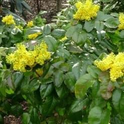 Mahonia Mahonia aquifolium