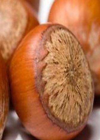 Noisetier à gros fruits Corylus 'Halle'sche Riesen'